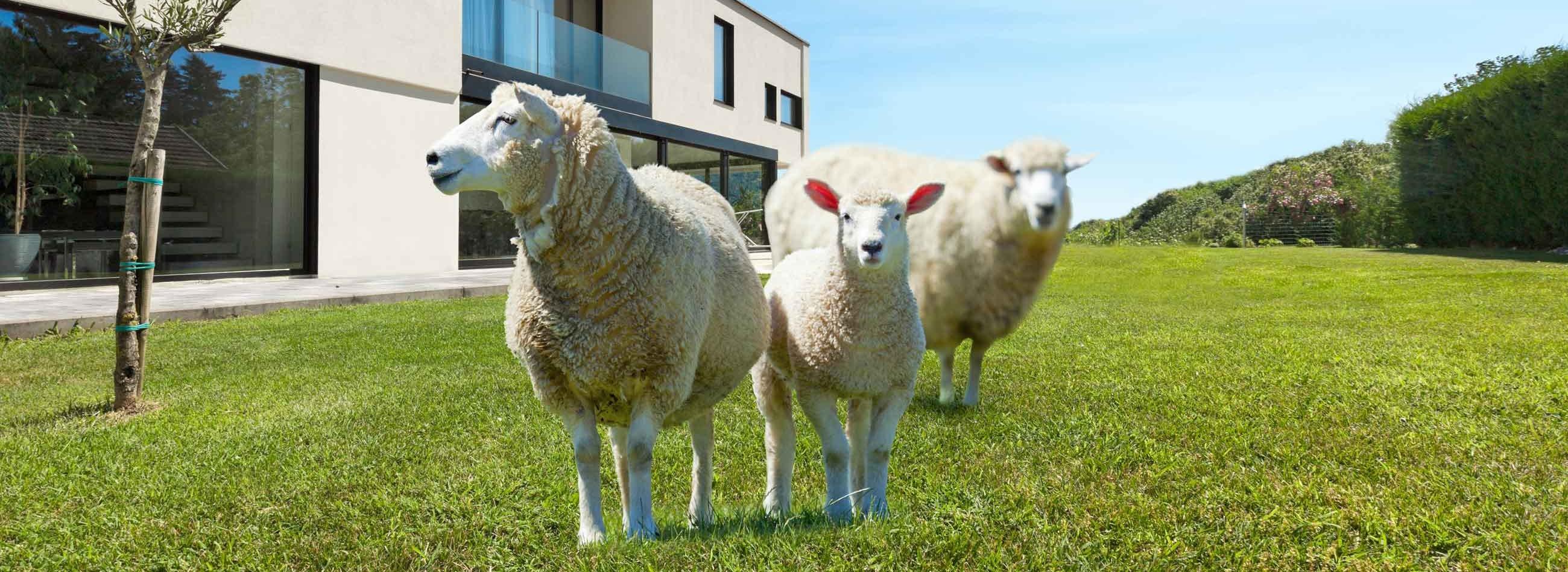 Mouton tondeuse